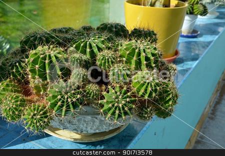Cacti growing in greenhouse Industrial cactus grow  stock photo, Cacti growing in greenhouse conservatory. Industrial cactus breeding.  by sauletas