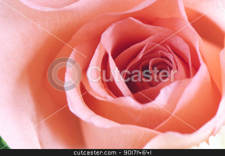 Rose detail stock photo, Red rose close up to see the detail texture of flower.  by momo_leif