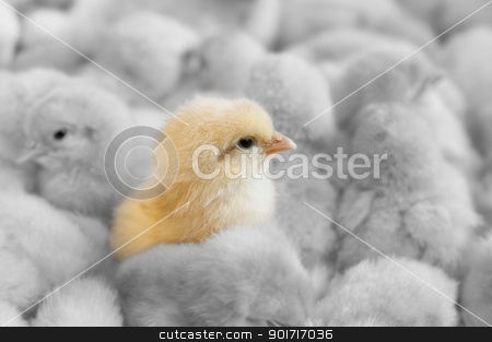 Outstanding chick stock photo, A chick in between yellow chicks group by szefei