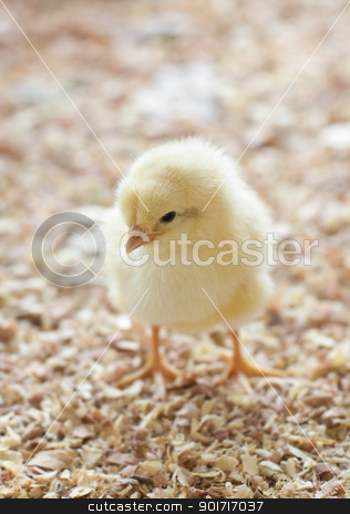 Chick stock photo, A single chick standing in barnyard by szefei