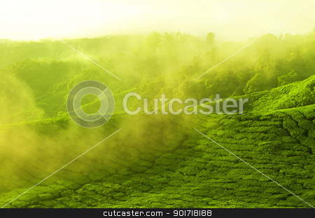 Team farm stock photo, Sunrise view of tea plantation landscape at Cameron Highland, Malaysia. by szefei