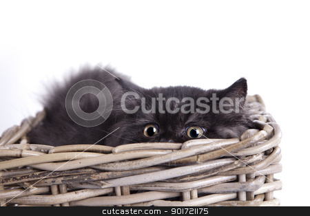 Young Longhair cat stock photo, Young Longhair cat by fikmik