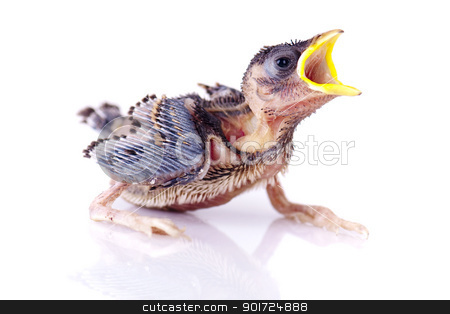 Hungry Baby Sparrow stock photo, Hungry Baby Sparrow on white background by szefei