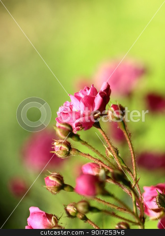 small decorative rosesin a garden stock photo, small decorative rosesin a garden by Olga Kriger