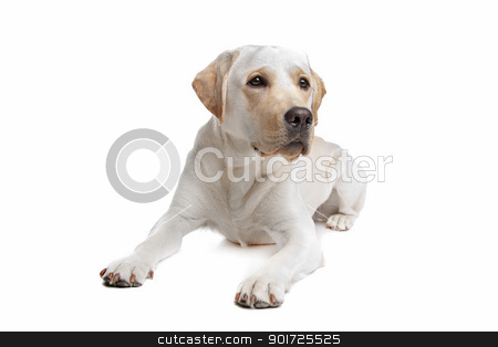 Yellow Labrador stock photo, Yellow Labrador in front of a white background by Erik Lam