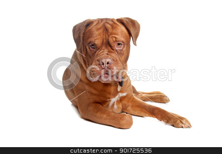 French mastiff stock photo, French mastiff in front of a white background by Erik Lam