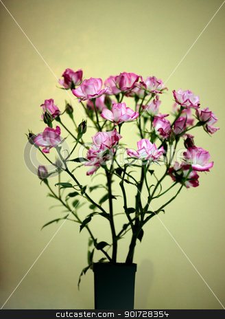 Picotee rose in bloom  - rose flower stock photo, Potted Picotee Rose plant with clusters of pretty double small crystal white flowers edged with rasberry pink red.  Has dark green leaves foliage.  Focus to foreground flowers.  - rose flower by Leah-Anne Thompson