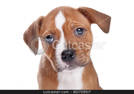 Staffordshire Bull Terrier puppy stock photo, Staffordshire Bull Terrier puppy in front of white by Erik Lam