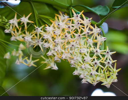 Shooting stars hoya stock photo, Beautiful hoya multiflora blooming like a shooting stars by Exsodus