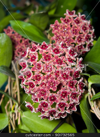 Hoya globulifera stock photo, Beautiful hoya globulifera 4 bouquet blooming very well by Exsodus