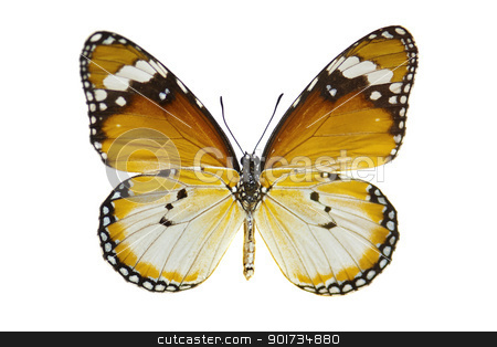 Plain Tiger Butterfly stock photo, Close-up Plain Tiger Butterfly isolated on white. by szefei
