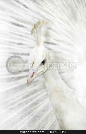 White peacock stock photo, A male white peacock displaying it feather by szefei
