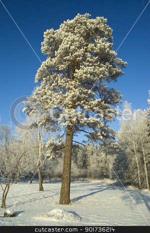 Lonely tree. Winter. stock photo, Cold winter day, beautiful hoarfrost and rime on trees by Yury Ponomarev