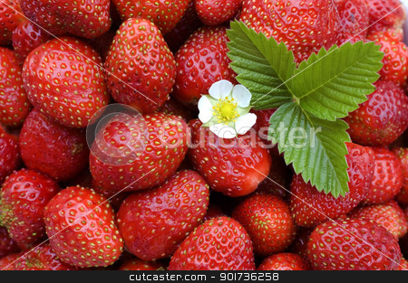 Strawberry. stock photo, White flower, green sheet on a background of red wild strawberry. by Yury Ponomarev