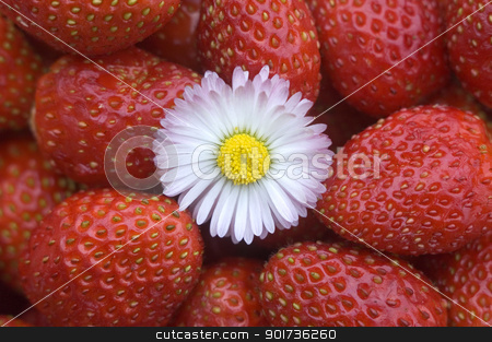 Strawberry. stock photo, White flower on a background of red wild strawberry. by Yury Ponomarev