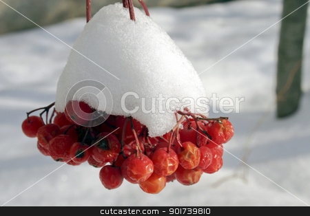 Winter berry stock photo, Red berries of a mountain ash in snow. by Yury Ponomarev