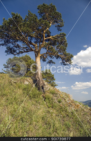 Summer  landscape. stock photo,  Pine on a background of the light-blue sky. by Yury Ponomarev