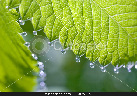 Rain-drops on the the fresh shoot stock photo, Small silvery drops of dew on a green sheet. by Yury Ponomarev