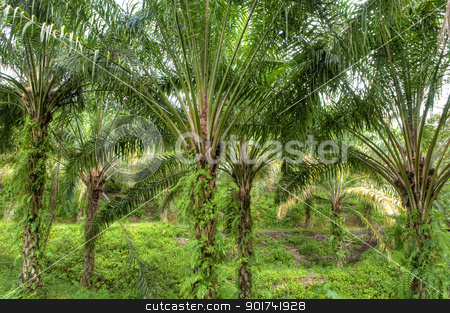 Palm Oil Plantation.  stock photo, Palm oil to be extracted from its fruits. by szefei