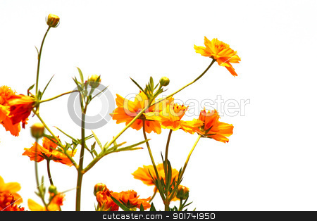 Marigold stock photo, The different types of marigold garlands for worship and sacred beliefs. by wilkat
