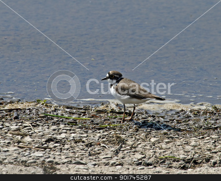 Little Ringed Plover stock photo, Little Ringed Plover on shore of Weir Wood Reservoir by Susan Robinson