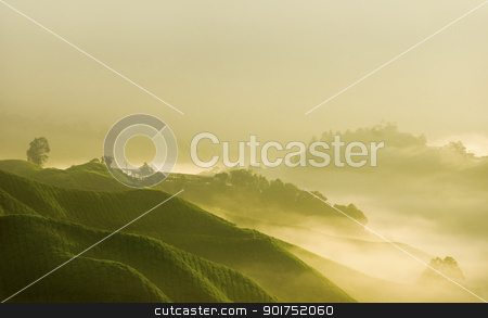 tea farm stock photo, misty morning in tea farm at Cameron Highland Malaysia  by szefei