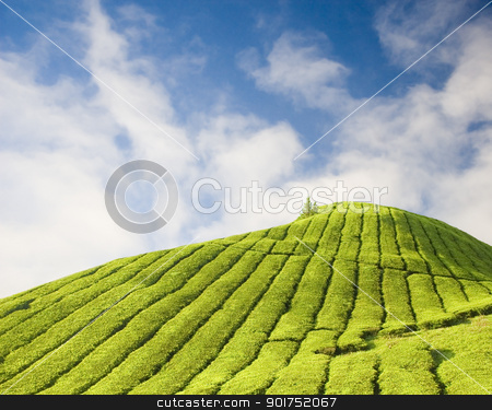 Tea plantation stock photo, Tea plantation at Cameron Highland Malaysia  by szefei