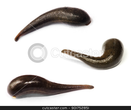 Blood sucking leech. stock photo, Three blood sucking leeches on white background. by szefei