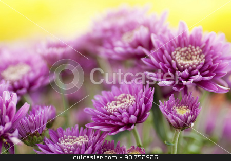 Chrysanthemum. stock photo, Close up chrysanthemum field in a morning. by szefei