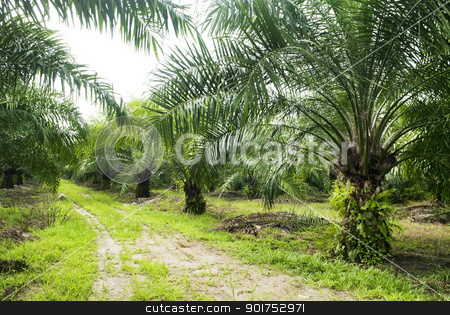 Palm Oil Plantation. stock photo, Palm oil to be extracted from its fruits. Fruits turn red when ripe. Photo taken at palm oil plantation in Malaysia, which is also the world largest palm oil exporting country. by szefei