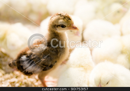 Outstanding chick  stock photo, A brown chick standing in yellow chicks group by szefei