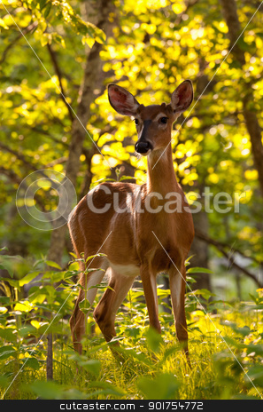 White tailed deer feeds at Big Meadow stock photo, Big Meadow in the national park off Skyline Drive in Shenandoah valley Virginia is home to many white tailed deer by Steven Heap
