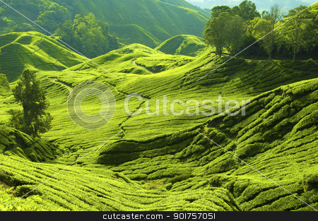 Tea farm stock photo, Tea farm at Cameron Highland Malaysia.   by szefei