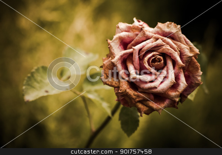 Faded pink rose in a garden - rose flower stock photo, Rose flower Simple beautiful faded pink rose in a green garden background by OZMedia
