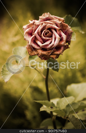 Faded pink rose in a garden stock photo, Simple beautiful faded pink rose in a green garden background by OZMedia