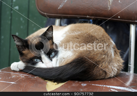 Siamese Cat stock photo, beautiful purebred siamese cat lying down on a old chair by Bonzami Emmanuelle