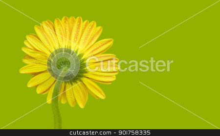 yellow gerbera stock photo, A yellow gerbera flower isolated on green by szefei