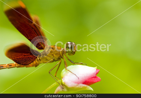 dragonfly  stock photo, A dragonfly resting on a flower bud  by szefei