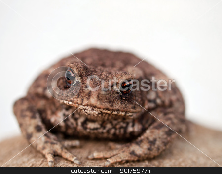 brown toad stock photo, little brown toad relaxing after hard day by burnel11