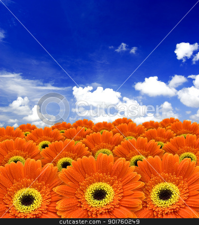 orange daisy flowers stock photo, orange daisy flowers against blue sky   by szefei