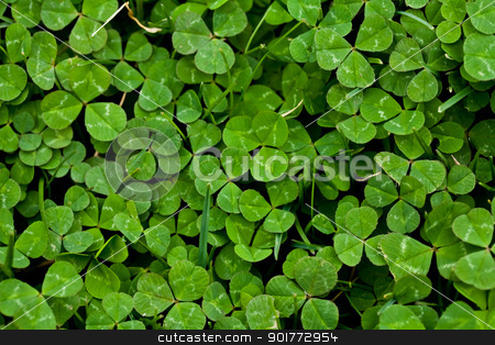 Lucky Clover stock photo, a bright green clover patch background by Rachel Duchesne