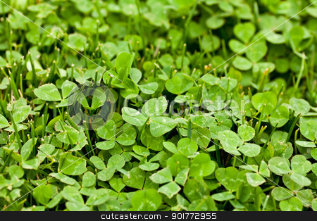 Happy Clover stock photo, a bright green clover patch in the grass by Rachel Duchesne