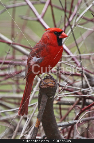 Northern Cardinal Profile stock photo, A profile shot of a male Northern Cardinal (Cardinalis cardinalis).  Shot in Kitchener, Ontario, Canada. by Chris Hill