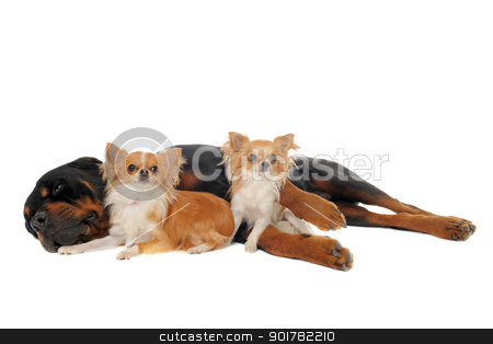 rottweiler and two chihuahuas stock photo, portrait of a purebred rottweiler and two chihuahuas in front of white background by Bonzami Emmanuelle