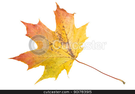 Maple stock photo, Maple leaf isolated on white background by Alexey Popov