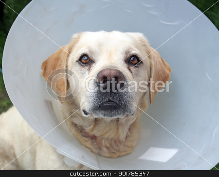 ill labrador dog in the garden wearing a protective cone stock photo, ill labrador dog in the garden wearing a protective cone by lizapixels