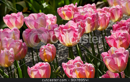 Pink Yellow Tulips Flowers Skagit Valley Washington State stock photo, Pink Yellow Tulips Flowers Skagit Valley Farm Washington State Pacific Northwest by William Perry