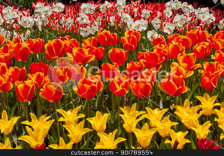 Red Yellow Tulips Flowers Skagit Valley Washington State stock photo, Red Yellow Tulips Flowers Skagit Valley Farm Washington State Pacific Northwest by William Perry