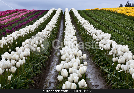 White Tulip Hills Flowers Skagit Valley Washington State stock photo, White Tulip Hill Flowers Skagit Valley Farm Washington State Pacific Northwest by William Perry