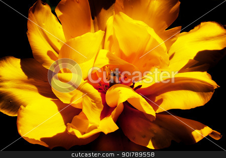 Yellow Frilly Tulip Black Background Flower Skagit Valley Washin stock photo, Yellow Tulip Flower Open Black Background Skagit Valley Farm Washington State Pacific Northwest by William Perry